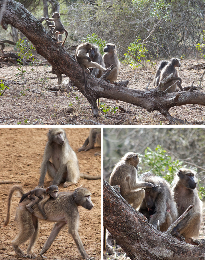 Baboon antics