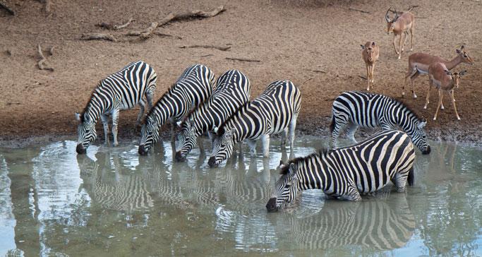 Zebra-drinking-in-the-wild