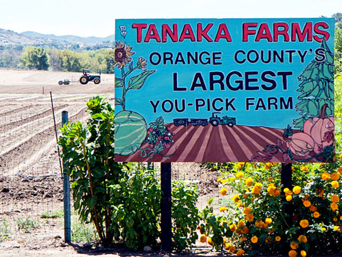 Tanaka Farms strawberry picking