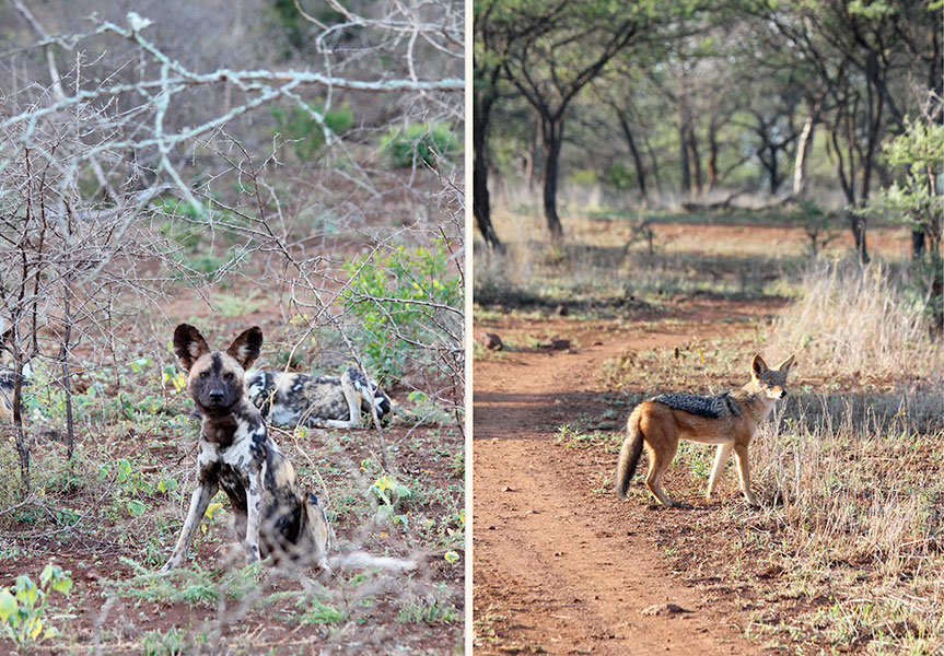 Wild dogs and jackal