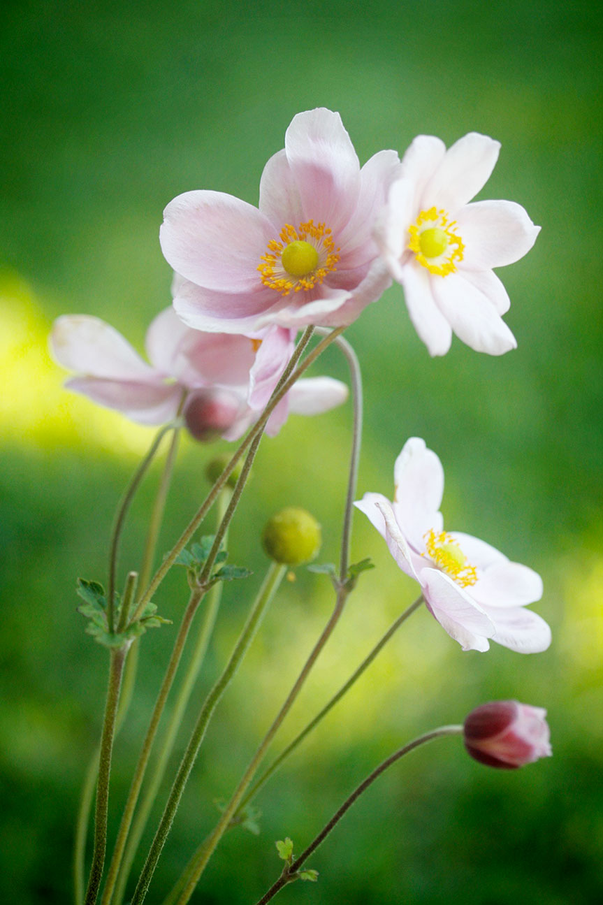 Cosmos flowers growing wild